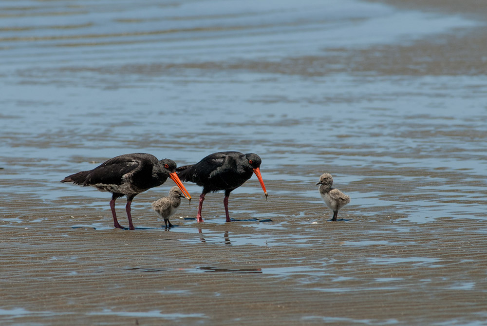 Variable Oystercatchers, Tōrea Pango and their chicks - Photo by Art Polkanov
