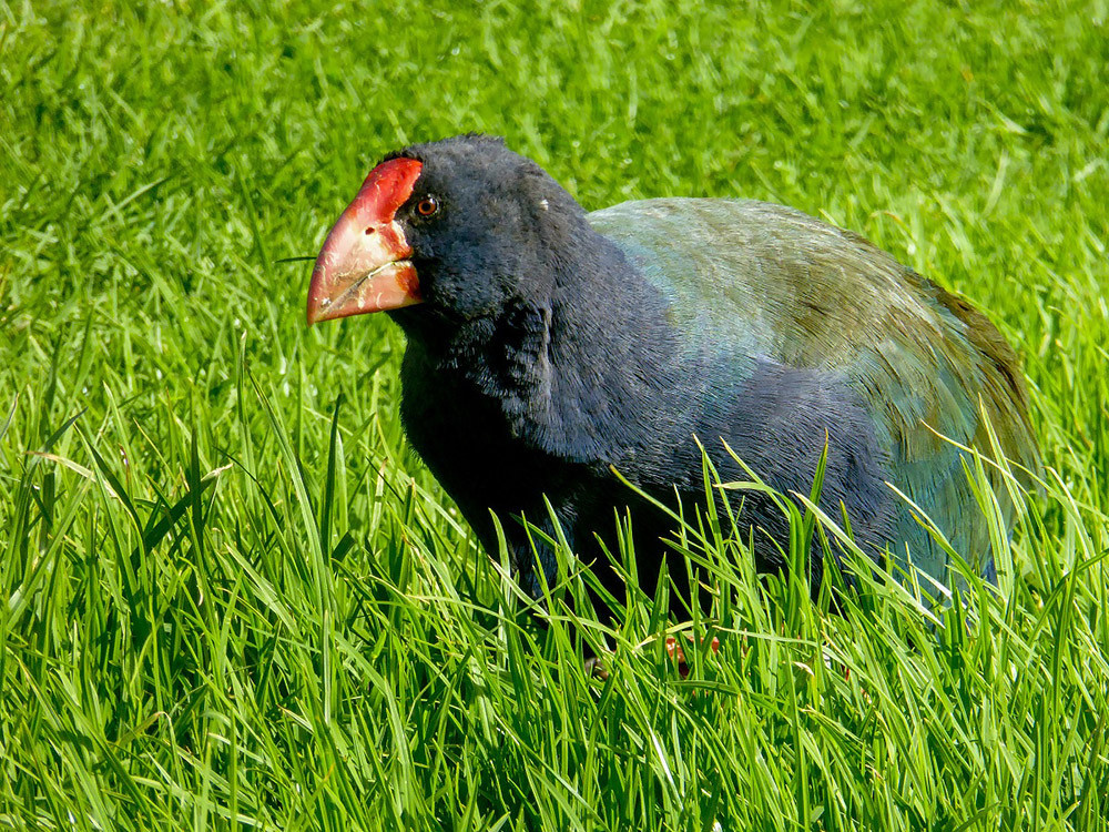 Takahe - Photo by Art Polkanov